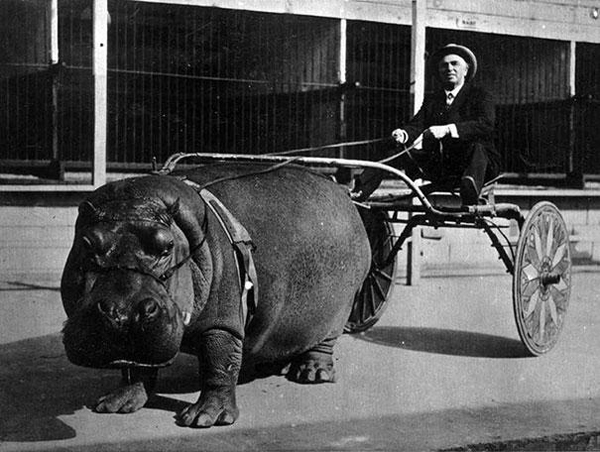 08-Hipopotamo-de-circo-tirando-de-un-carro-1924