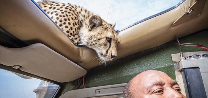 guepardo-amistoso-01