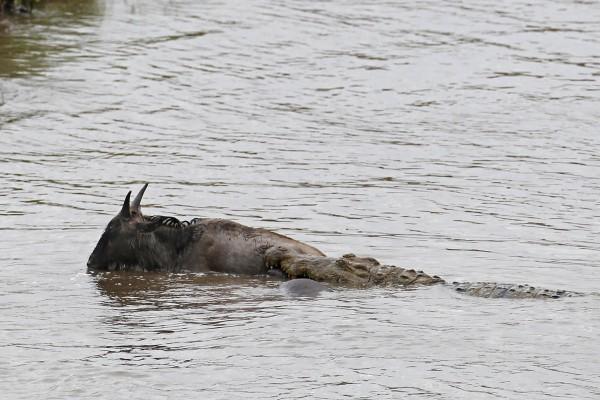 hipopotamo-salva-nyu-01