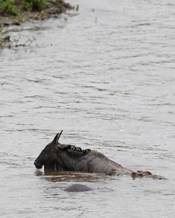 hipopotamo-salva-nyu-02
