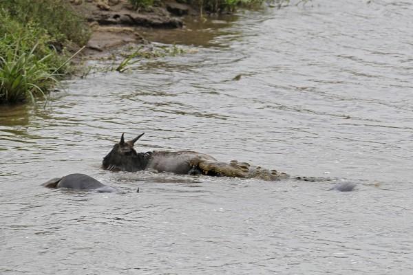 hipopotamo-salva-nyu-03