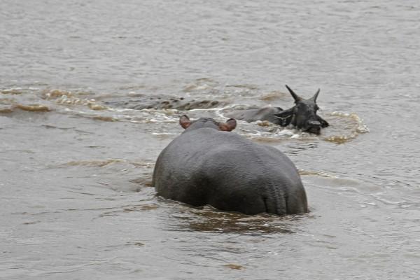 hipopotamo-salva-nyu-04