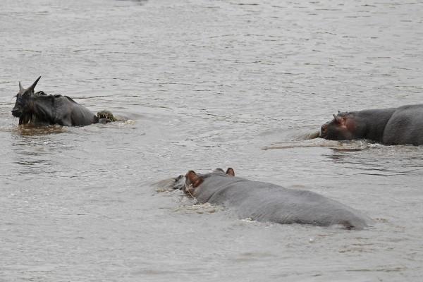 hipopotamo-salva-nyu-05