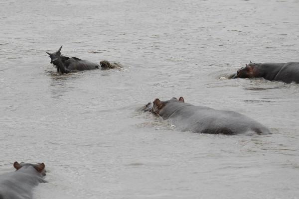 hipopotamo-salva-nyu-06