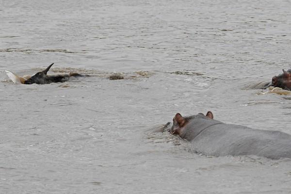 hipopotamo-salva-nyu-07