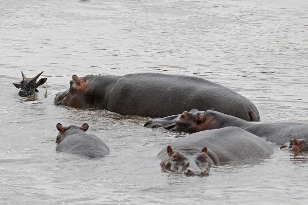 hipopotamo-salva-nyu-08