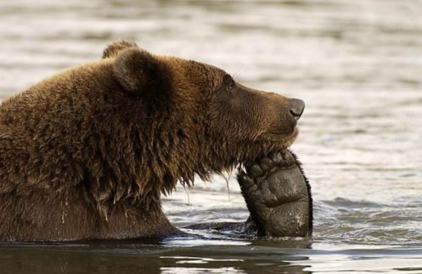 osos-graciosos-haciendo-cosas-de-humanos-04