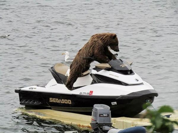 osos-graciosos-haciendo-cosas-de-humanos-06