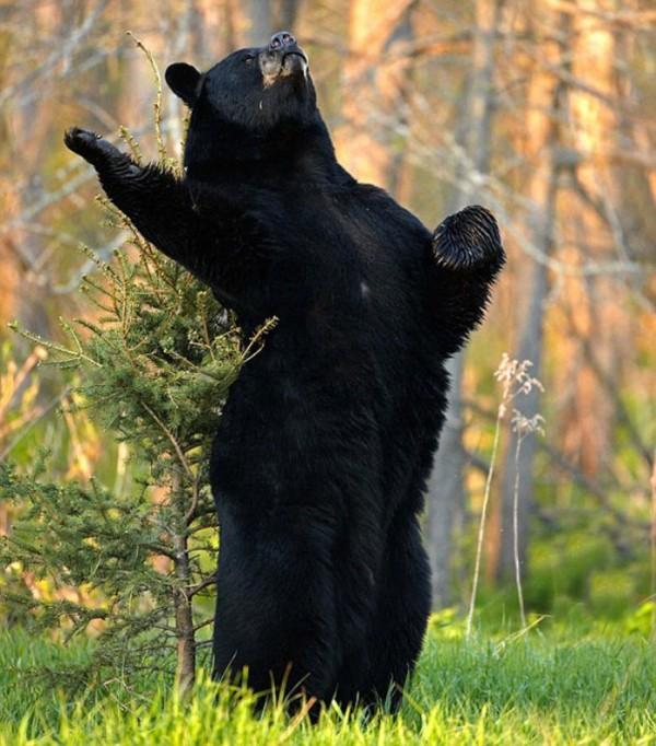 osos-graciosos-haciendo-cosas-de-humanos-11