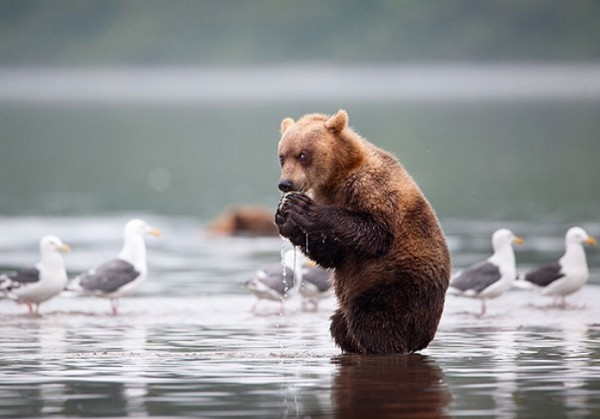 osos-graciosos-haciendo-cosas-de-humanos-18