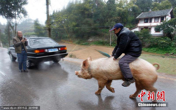 viajar-en-cerdo-04