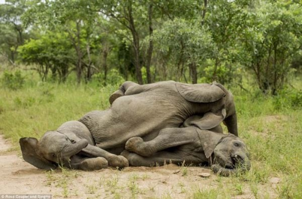 elefantes-borrachos-06