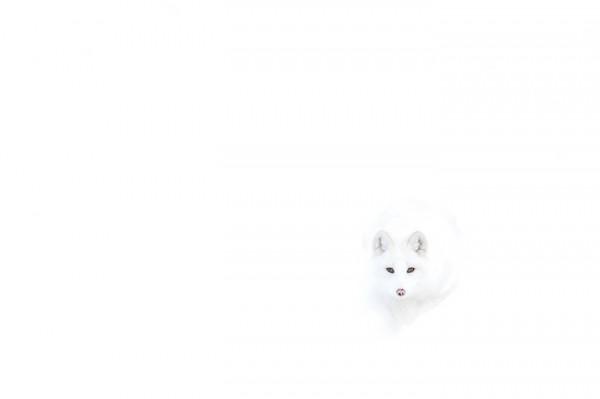fotografias-de-zorros-fascinantes-10