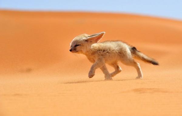 fotografias-de-zorros-fascinantes-12