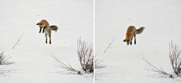 fotografias-de-zorros-fascinantes-19