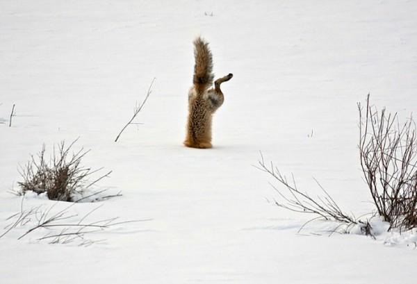fotografias-de-zorros-fascinantes-20