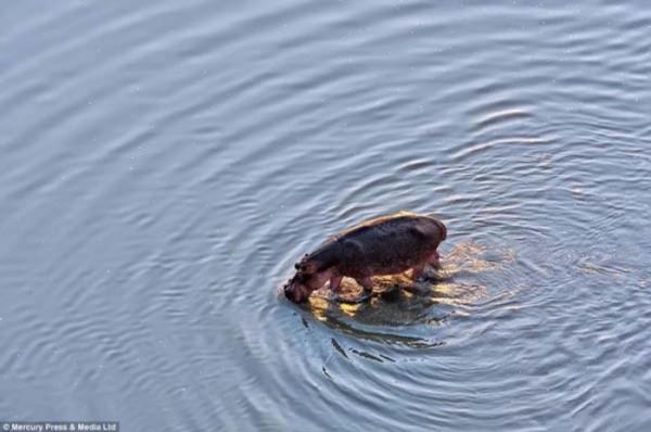 hipopotamos-vs-cocodrilos-08