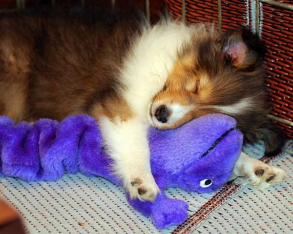 mascotas-durmiendo-con-peluches-12