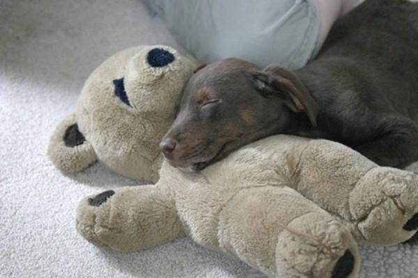 mascotas-durmiendo-con-peluches-15