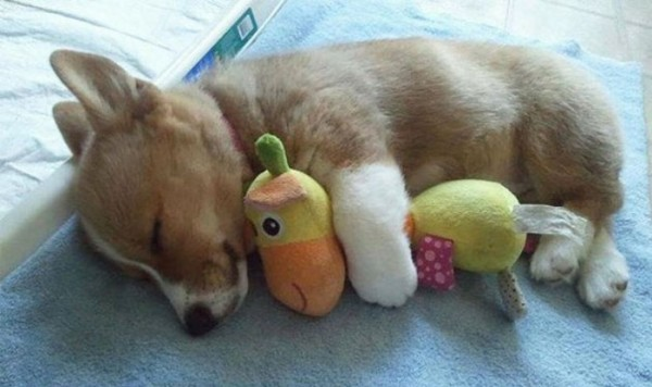 mascotas-durmiendo-con-peluches-22