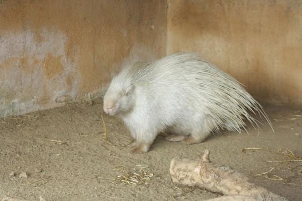 animales-albinos-14