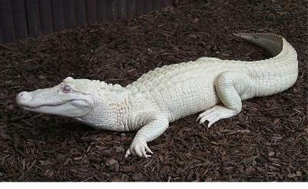 animales-albinos-17
