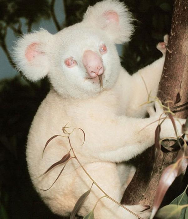 animales-albinos-19
