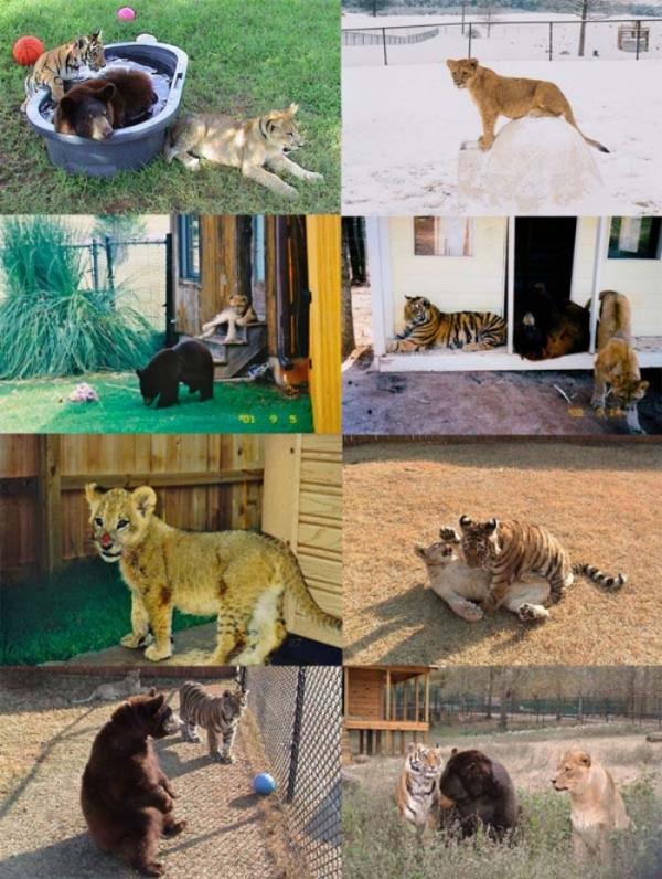 tigre-oso-leon-rescatados-00