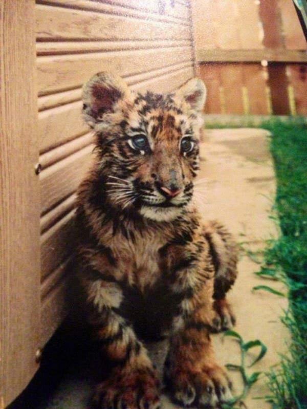 tigre-oso-leon-rescatados-01