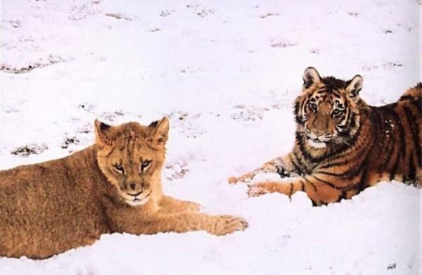 tigre-oso-leon-rescatados-02