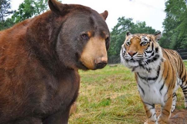 tigre-oso-leon-rescatados-04