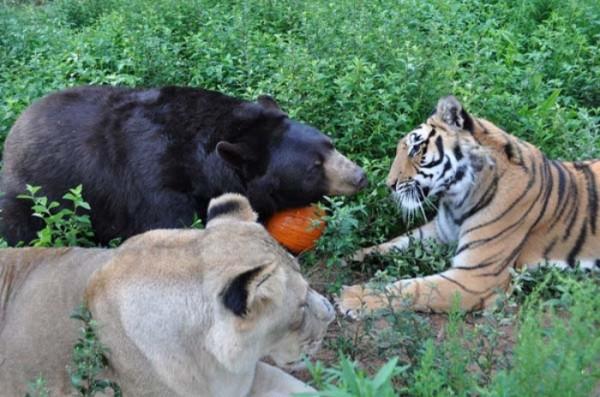tigre-oso-leon-rescatados-05