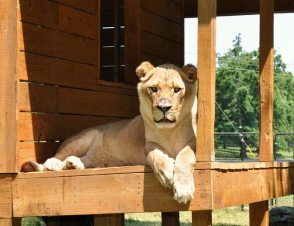 tigre-oso-leon-rescatados-06