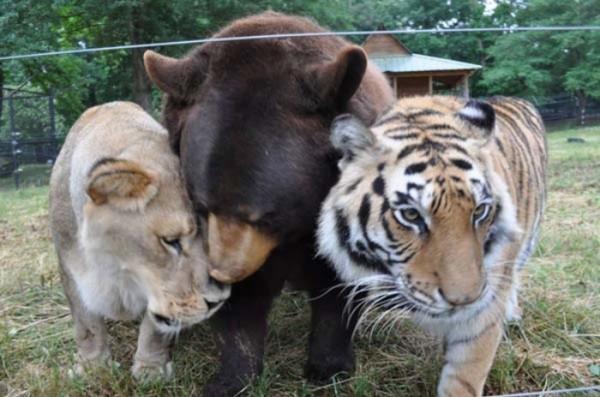 tigre-oso-leon-rescatados-07