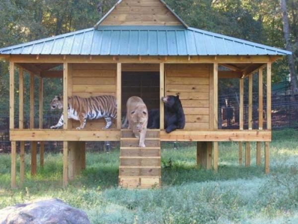 tigre-oso-leon-rescatados-08