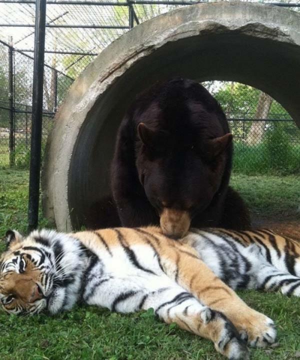 tigre-oso-leon-rescatados-09