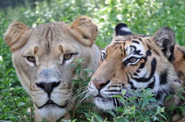 tigre-oso-leon-rescatados-11