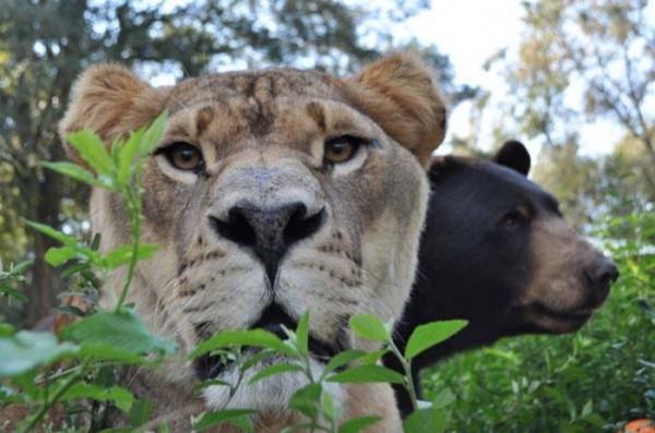 tigre-oso-leon-rescatados-12